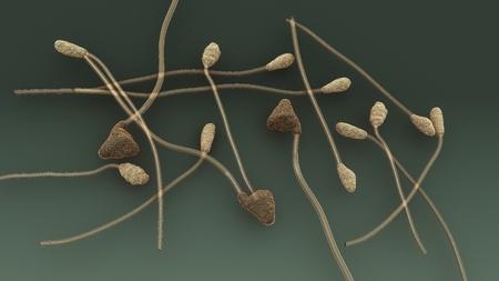 Colletotrichum top