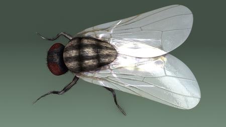 Housefly top