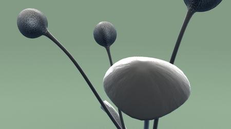 Aplanospores front