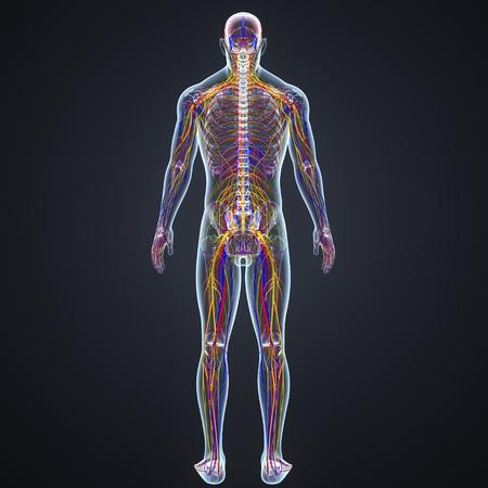 Bloedsomloop en zenuwstelsel met lymfeklieren