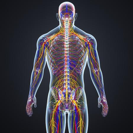 Sistema circolatorio e nervoso con linfonodi Archivio Fotografico