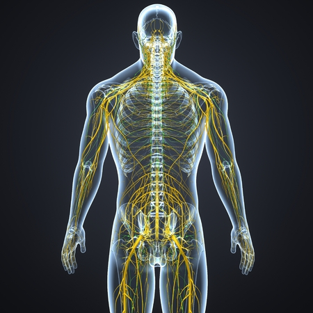 Nerves with lymph nodes posterior view Stock Photo