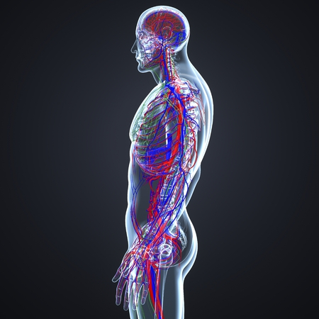 Blood vessels and Lymph nodes lateral view Imagens