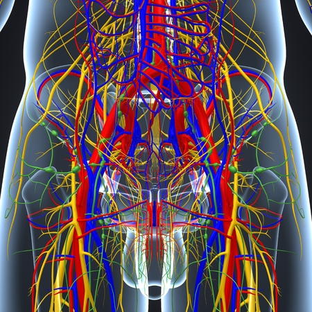 Circulatory and Nervous System with Lymph Nodes posterior view Imagens