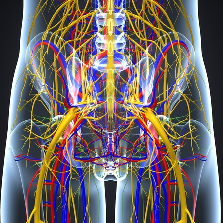 Circulatory and Nervous System with Lymph Nodes anterior view Imagens - 103696686