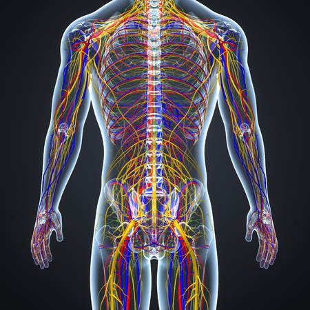Kreislauf und Nervensystem mit Lymphknoten