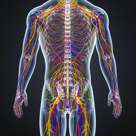 Sistema circulatorio y nervioso con ganglios linfáticos