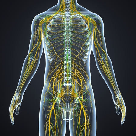 Nervous System with Lymph Nodes