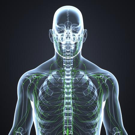 Lymph Nodes anterior view