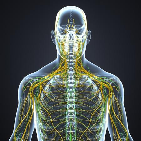 Nervensystem mit Lymphknoten
