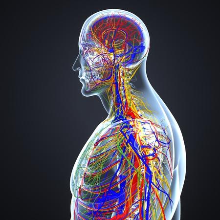 Sistema circolatorio e nervoso con linfonodi