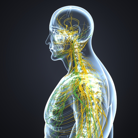 Nervous system with lymph nodes lateral view Stock Photo