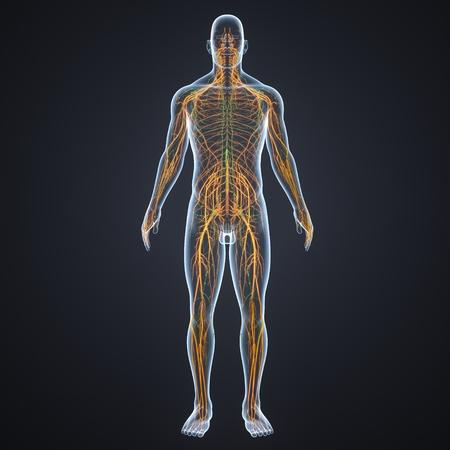Zenuwstelsel met voorste zicht lymfeklieren