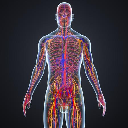 Kreislauf und Nervensystem mit Lymphknoten von vorne