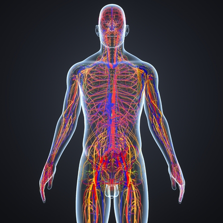 Circulatory and Nervous System with Lymph Nodes anterior view