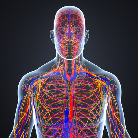 Circulatory and nervous system with lymph nodes Stock Photo
