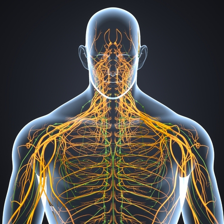 Nervous System with Lymph Nodes anterior view 写真素材