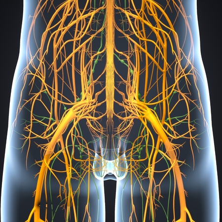 Nervous System with Lymph Nodes anterior view Stock Photo