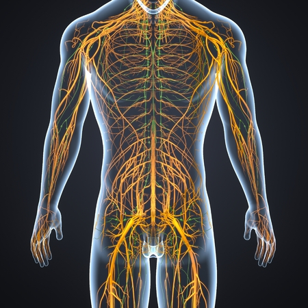 Nervous System with Lymph Nodes posterior view