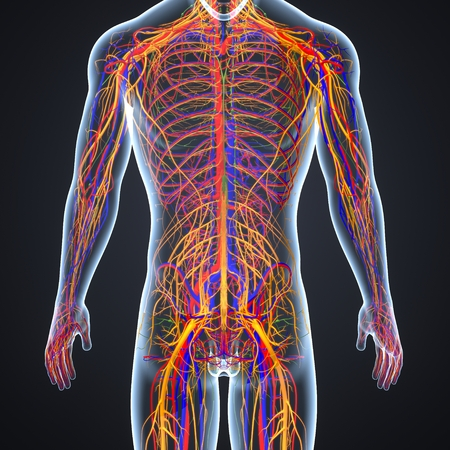 Circulatory and nervous system with lymph nodes posterior view