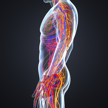Circulatory and nervous system with lymph nodes lateral view Stock Photo