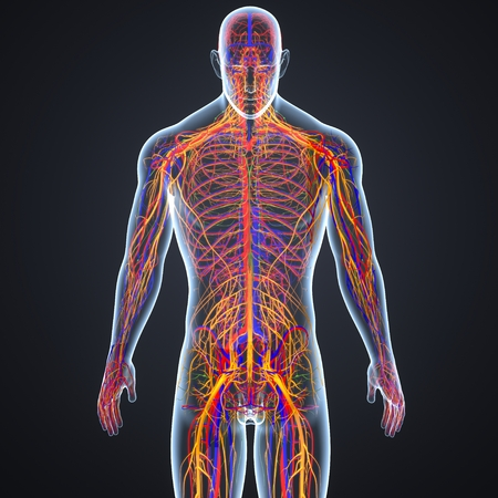 Circulatory and Nervous System with Lymph Nodes