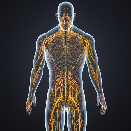 Nervous system and Lymph nodes