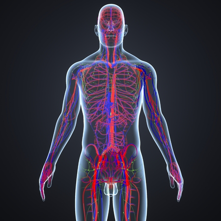 Blood vessels and Lymph nodes Stock Photo