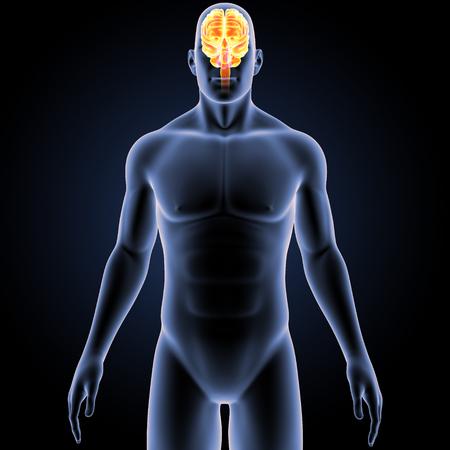 Brain with Body Anterior view