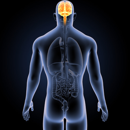 Brain with Organs Posterior view Stock Photo