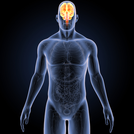 Brain with Anatomy Anterior view Stock Photo