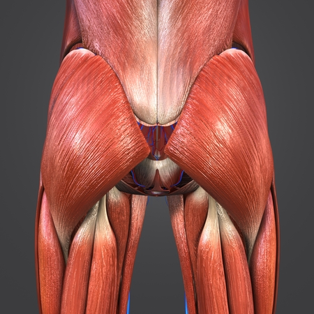 Hip Muscles with blood vessels posterior view