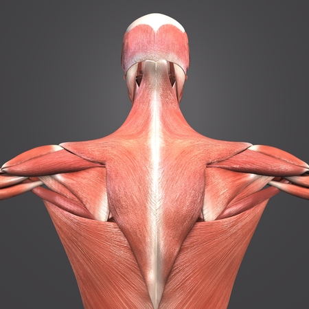 Human Muscular Anatomy Posterior view closeup