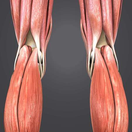 Knee joint muscles anatomy Posterior view
