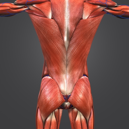 Muscles at vertebral column with blood vessels