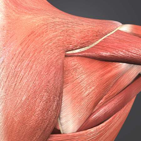 Shoulder Muscles anatomy posterior view