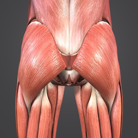 Hip Muscles Anatomy Posterior View Stock Photo Picture And Royalty