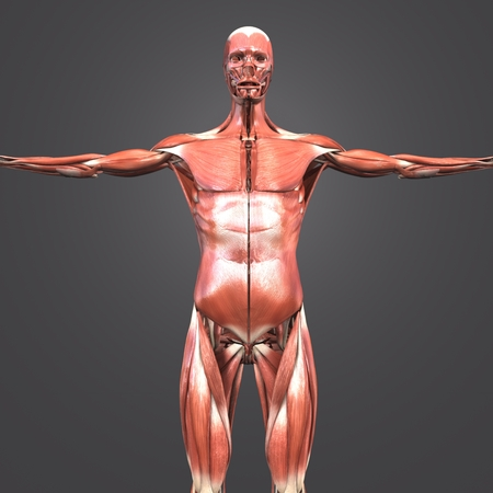 Human Muscular Anatomy Anterior view