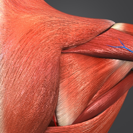Shoulder Muscles with blood vessels Closeup