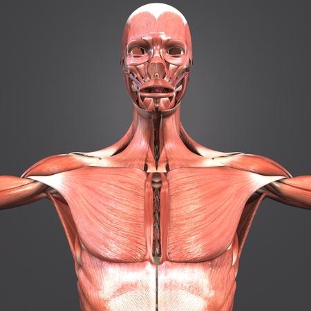 Human Muscular Anatomy closeup 写真素材