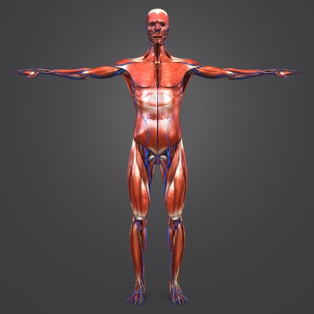 Human Muscular Anatomy with blood vessels Anterior view