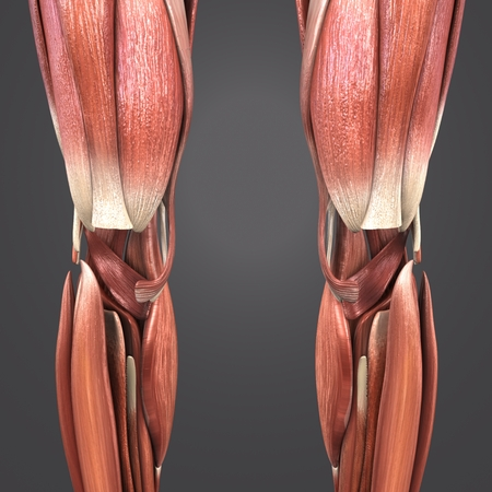 Knee joint muscle anatomy anterior view 免版税图像