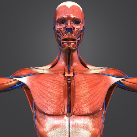 Muscular Anatomy with Blood vessels 写真素材 - 102018650