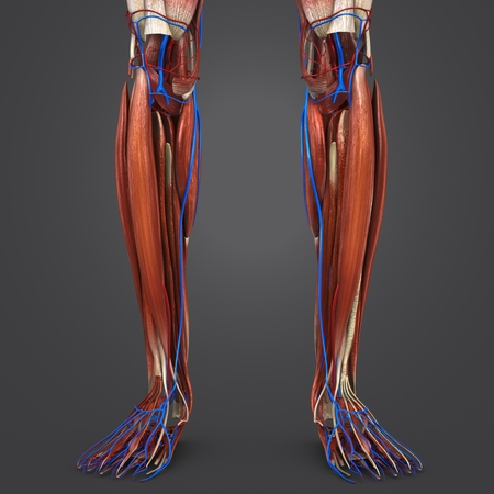Leg Muscles with Blood vessels