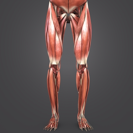 Lower Limbs muscles anatomy Anterior view 写真素材