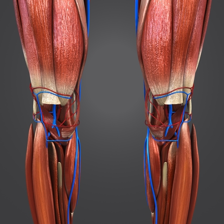 Knee joint muscles anatomy with Blood vessels Anterior view 写真素材