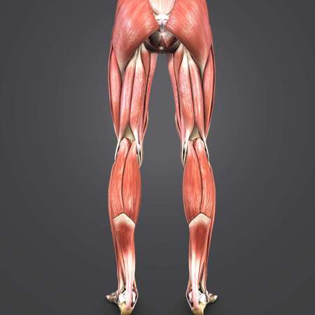Lower Limbs anatomy Posterior view Imagens