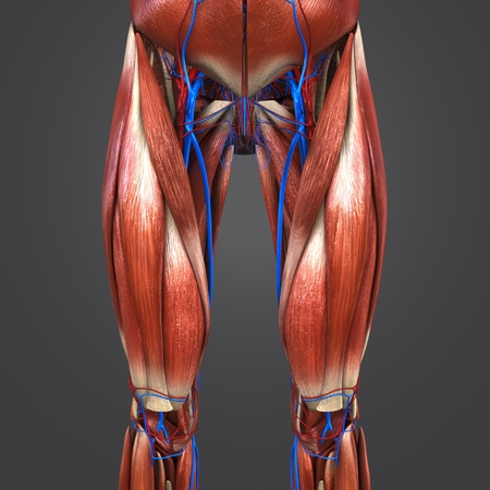 Muscles with Blood vessels of Hip and Thigh Anterior view Stockfoto