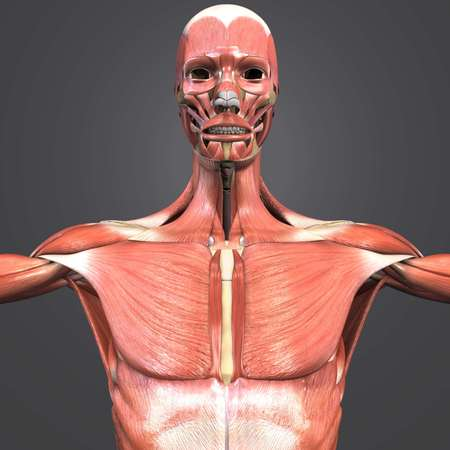 Muscular Anatomy with Skeleton closeup Stock Photo