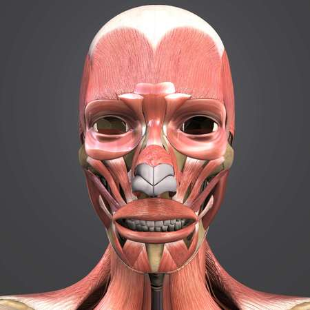 Facial muscles and bones